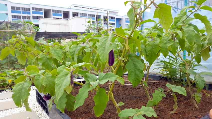 Eggplant plants in a neighbouring allotment