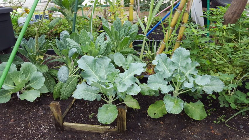 Broccoli and kale patch, and what looks like peanuts, in a neighbour's patch