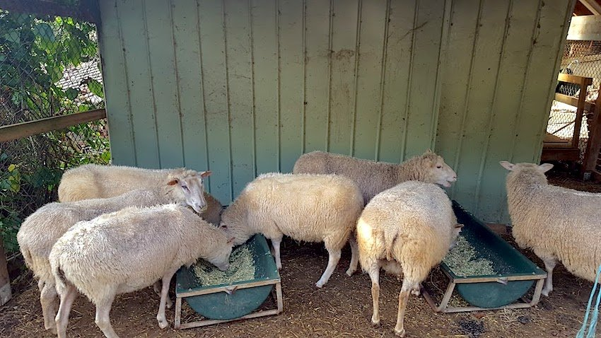 Telopea Mountain Permaculture sheep