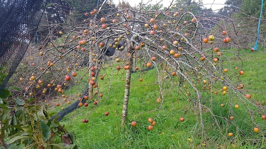 Telopea Mountain Permaculture apples