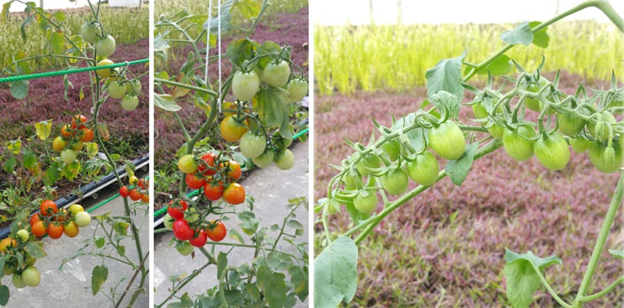 How to grow tomatoes in Singapore