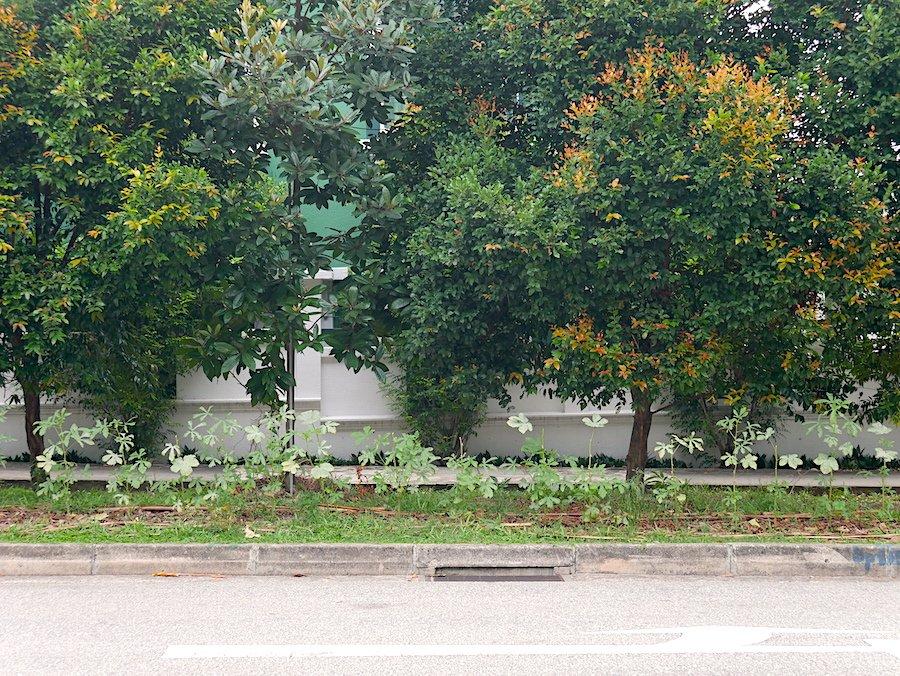 okra verge garden