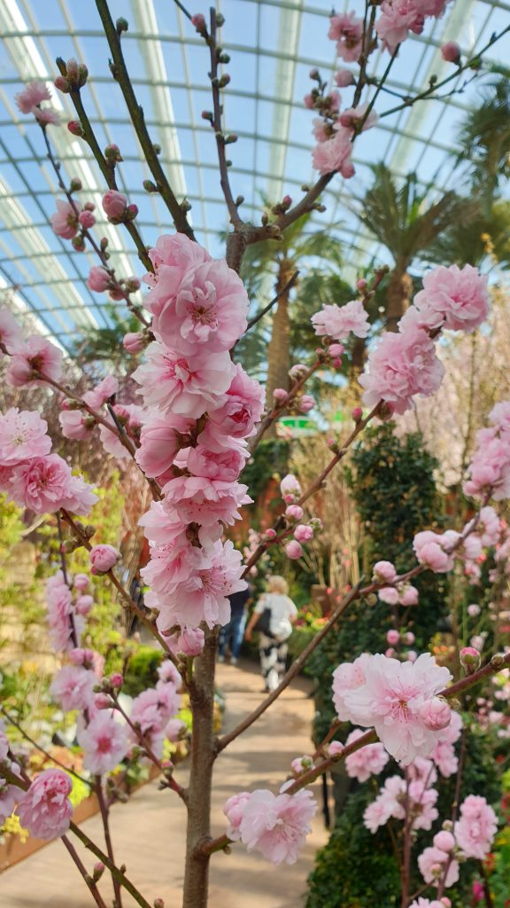 Sakura Matsuri | Cherry blossoms at Gardens by the Bay