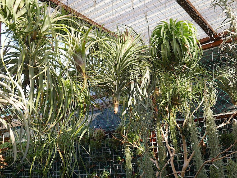 air plants singapore