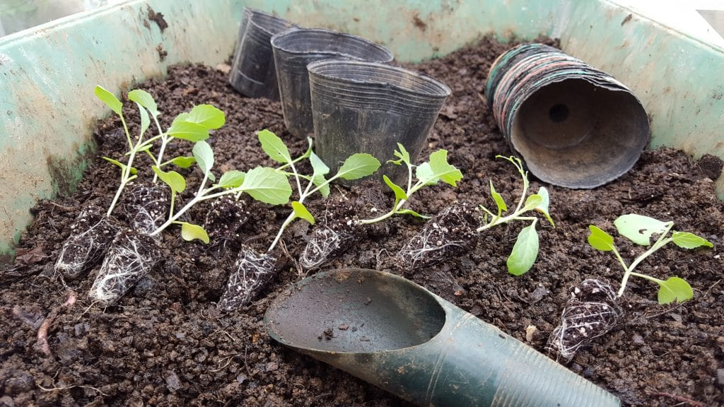 transplanting cabbage seedlings