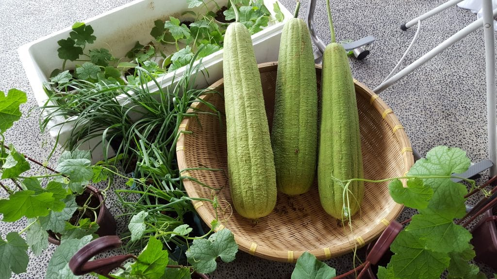 Grow vegetables in Singapore (luffa)