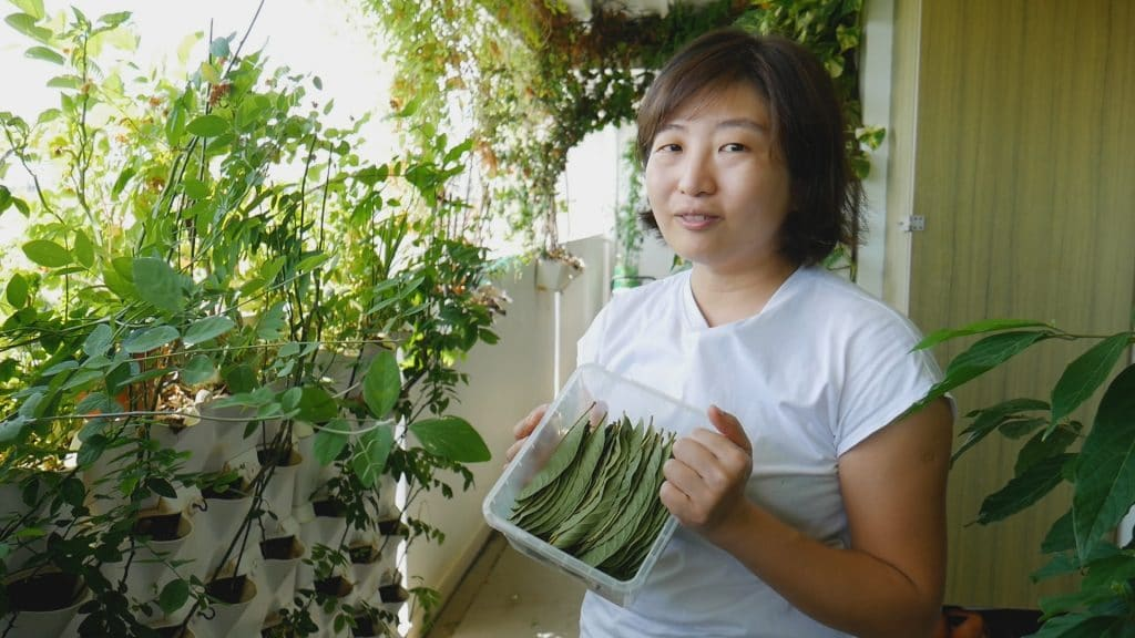 Guava leaves singapore